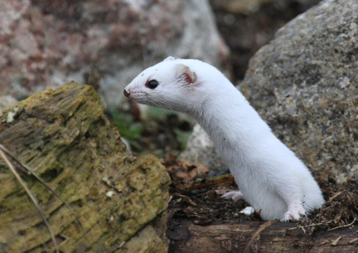 Dreaming about Weasel meaning