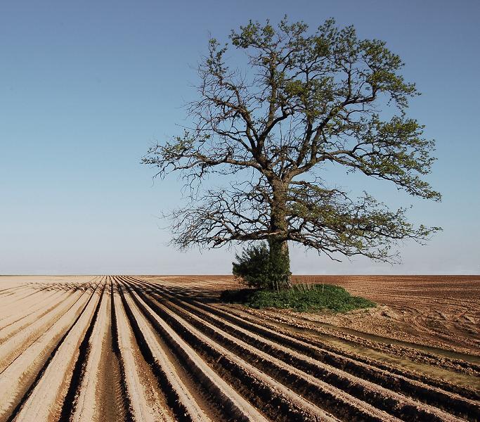 Oak (tree) -... Oak Tree Symbolism Marriage