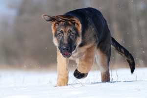 German Shepherd in Winter on Snow
