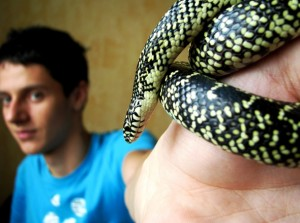 Lampropeltis pyromelana the Sonoran mountain kingsnake of colubrid snake on hands finger
