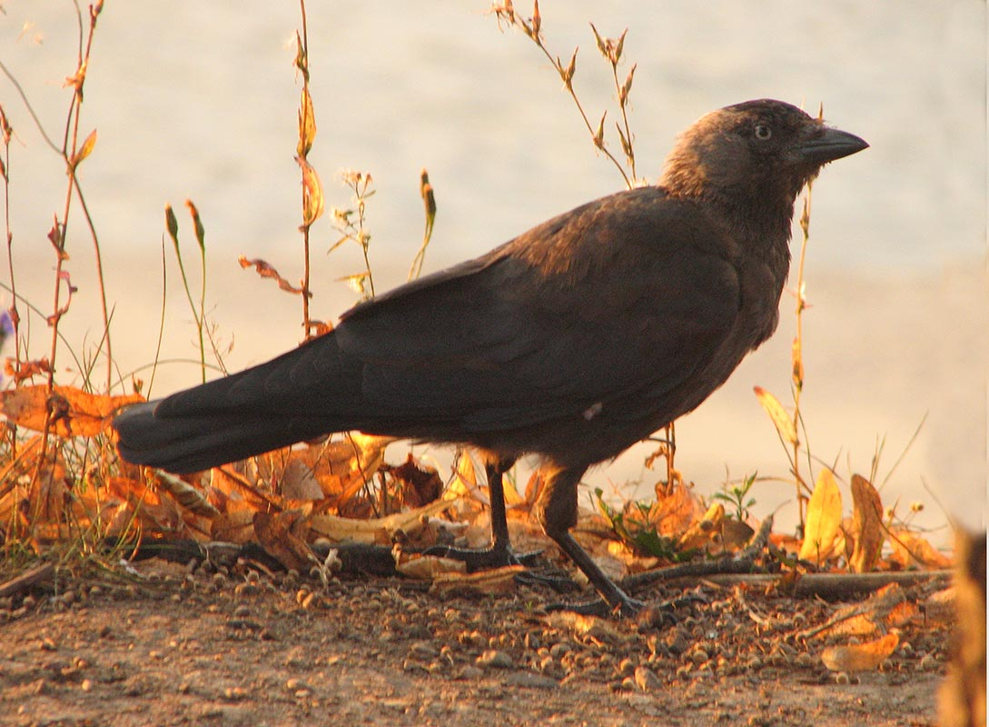 Crow dream meaning crow buycottarizona